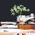 The Benefits of Cannabis and the Process of Growing Your Own