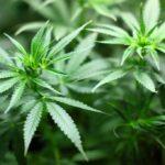 CBD Hemp Flower vs. High THC Cannabis Flower: Similarities & Differences